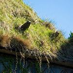 Roof of Tsubaki-jo (ツバキ城)